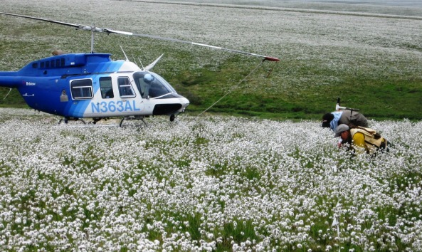 Randi Jandt & Dave Yokel sample a sea of cottongrass 4 years after the Anaktuvuk River fire in Alaska.